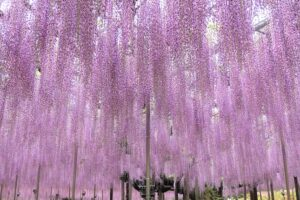 Wisteria Flower Festival 2021 at Ashikaga Flower Park
