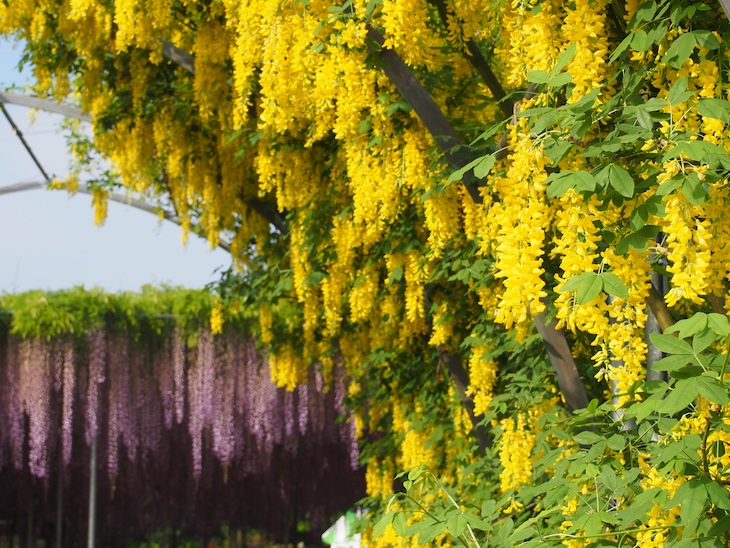 Kibana wisteria