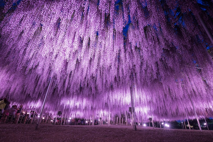 Great wisteria